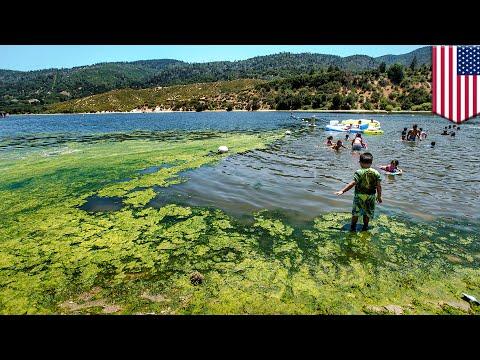 Harmful algae: Blue-green algae blooms pose health hazards in contaminated waterways - TomoNews