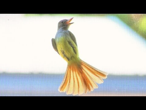 Flycatcher Catching Flies on Window Screens - Natural Pest Control!