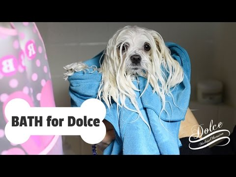 GROOMING: Bathtime for Dolce - How to BATHE a Maltese Dog at Home  Puppy Bath Time