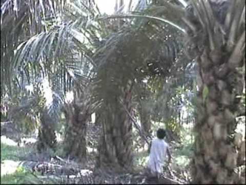 Etani : Harvesting oil palm fruit using Cantas Advanced II