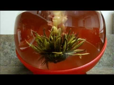 Watch a Flowering Tea Bloom (in Simulated Time Lapse)