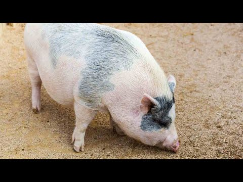 What Is a Potbellied Pig aka Mini Pig? | Pet Pigs