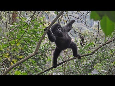 Uganda - Gorilla in Bwindi Park