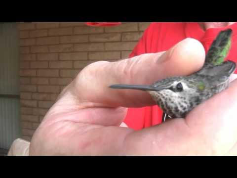 A Hummingbird in Hand... Trapped Anna's Hummingbird rescued & set free