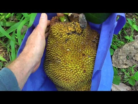 How to Bring Down a Ripe Jackfruit From the Top of a Tree | Video