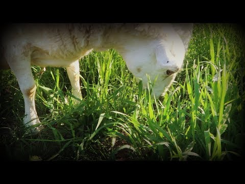 Pig Pasture Revitalization Success - Sheep on Pasture