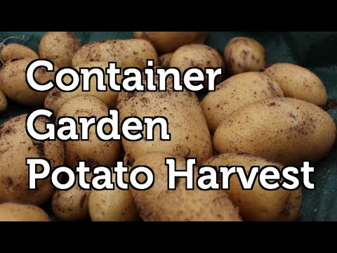 Large Potato Harvest from the Container Garden in Grow Bags and a Grafted Tomato Potato plant