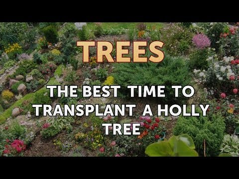 The Best Time to Transplant a Holly Tree