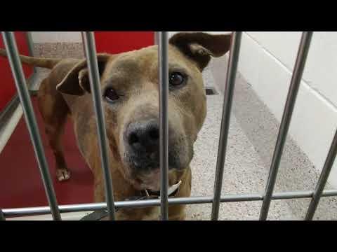 Pima Animal Care Center 5-24-18 Doggie Adoptable - Kahla-3YOMwAnimal#A635786