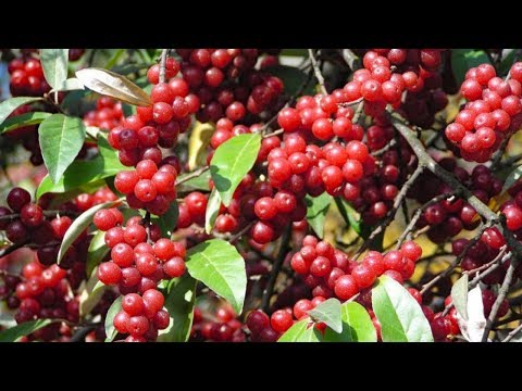 Berry picking and foraging - Survival food: Autumn olives - How to make Autumn olive jelly.