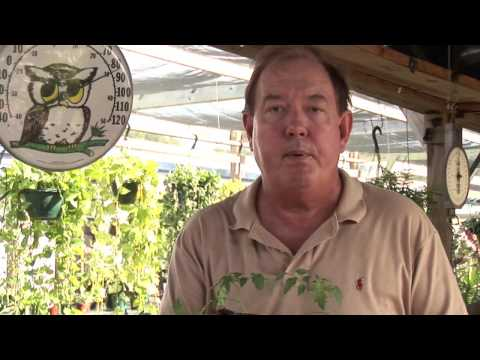 How to Grow Cherry Tomatoes Upside Down