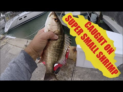 Limit of Mangrove Snapper Biggest Caught on Smallest Shrimp