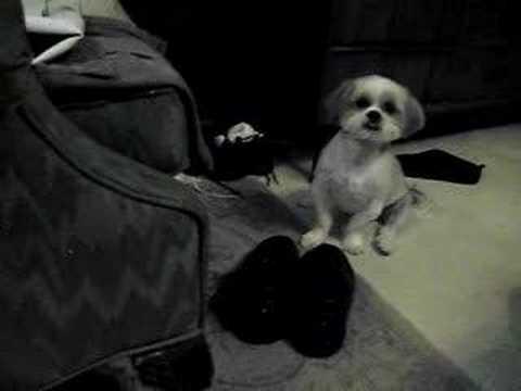Shih Tzu Jake wants to go pee-pee