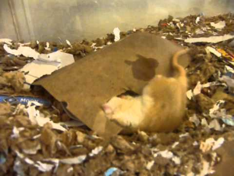 Little Rowdy the Gerbil chewing upside down