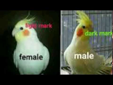 cocktail male female difference & my cocktail egg laying progress