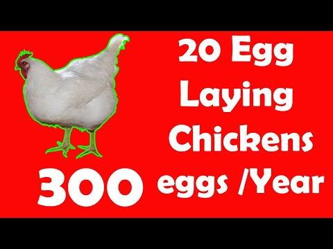 20 Best Egg Laying Chicken (Hen) Breeds   Up to 300 Eggs per year