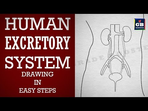 How to draw Human excretory system in easy steps :video lessons for class 10 cbse Syllabus :Biology