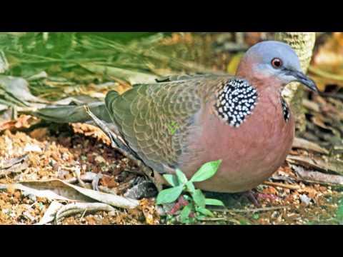 Tiếng chim cu mồi chuẩn dùng bẫy chim cu gáy