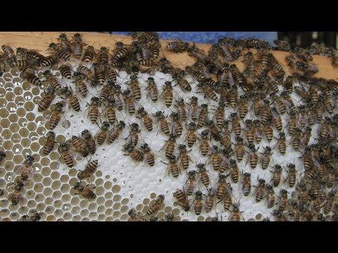 Cutting natural honey comb from apis cerana