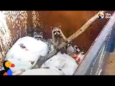Baby Raccoons Trapped In Dumpster Get Help From A Stranger | The Dodo