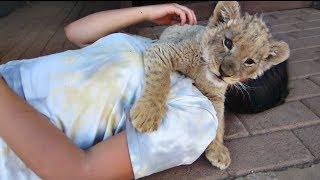 "Cute Baby Lion ""Attacks"" Girl"