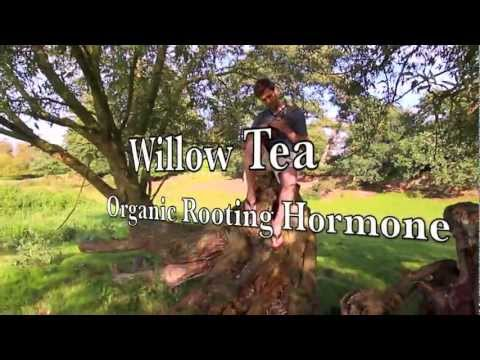 Willow Tea Organic Rooting Hormone - Home Made Rooting Hormone