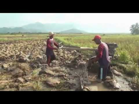 Rice Field  Philippines. ( Making Rice with OIL  )