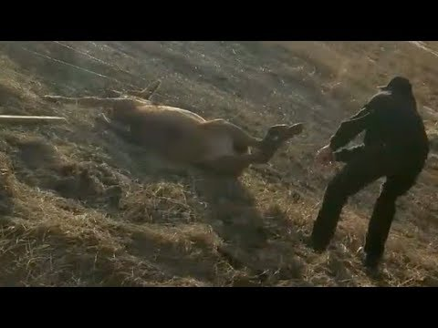 Man rescues elk tangled in barbed wire fence