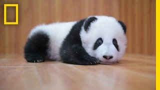Raising Cute Pandas: It