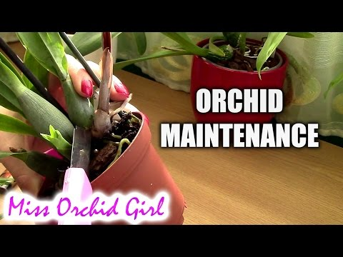 Orchid Maintenance - Removing sick leaves and pseudobulbs
