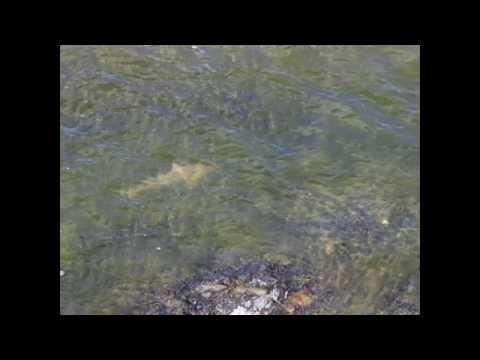 Brisbane River Bull Sharks At Mt Crosby Weir