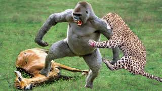 OMG! Leopard Save Baby Impala From Gorilla Trying To Steal From Mother Impala – Leopard vs Baboon
