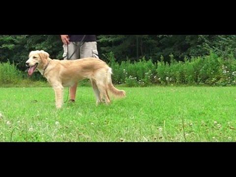 Best Dog Training in Columbus, Ohio! 6 Month Old Golden Retriever, Nellie!