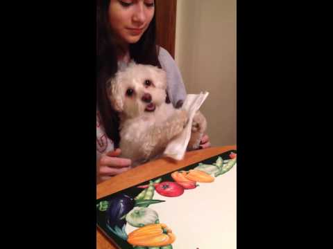 Dog Wipes Face with Napkin
