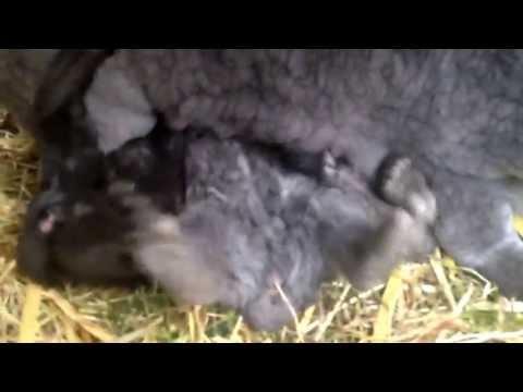 Baby bunnies feeding off Mum
