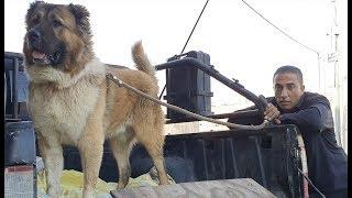 هكذا يتم تحميل كلب القوقازي الضخم بيل عمر سنتين مع جمال العمواسي