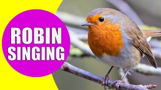EUROPEAN ROBIN Singing Sounds | Learn Birds with Kiddopedia #Shorts