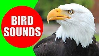 Raptor Bird of Prey - Bird sounds for kids PART 2 - Children Learn Birds of Prey (Raptors)
