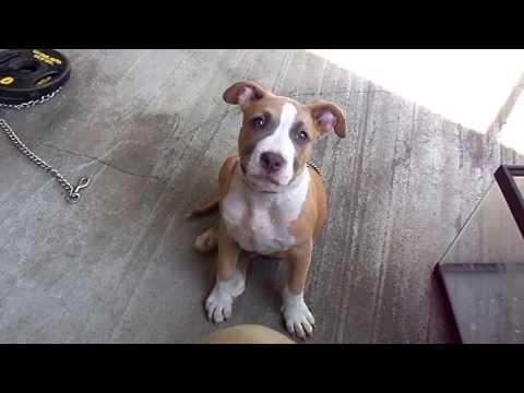 Bully Puppy Before Ear Crop