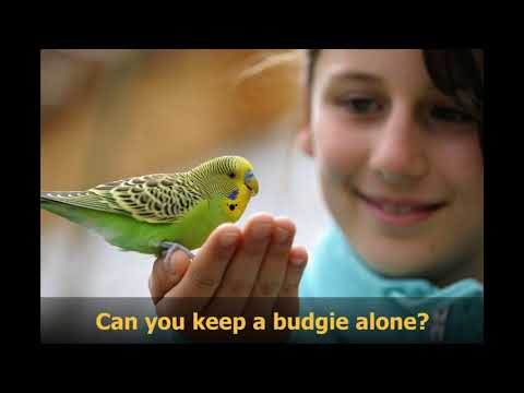 Can you keep a budgie alone