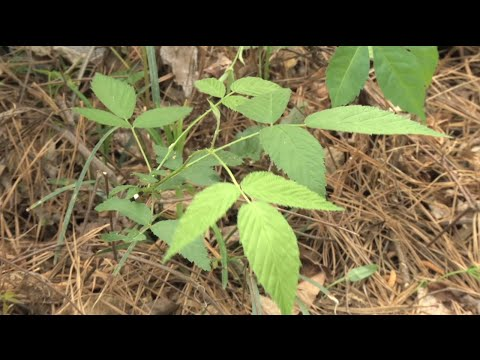 Walter Reeves – How To Identify & Remove Poison Ivy