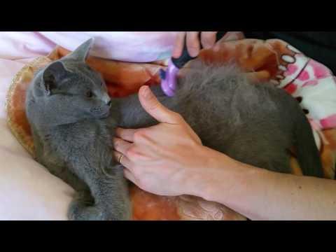 Furminator on Short Hair Russian Blue Cat In Action