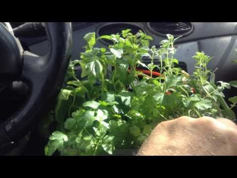How to Garden inside Your Car with Edible Herbs