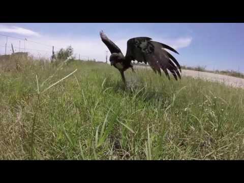 Trapping a Texas Harris Hawk