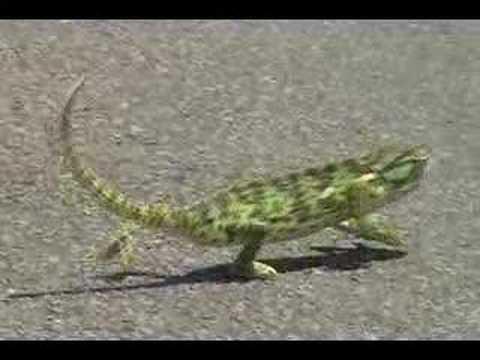 Dancing Chameleon Getting Rhythm!! Johnny Cash (Joaquin Phoenix style)