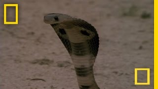 Cobra vs. Mongoose | National Geographic