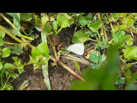 How To Keep The White Cabbage Moth Off Your Veggies