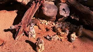 10 fun facts about Meerkats