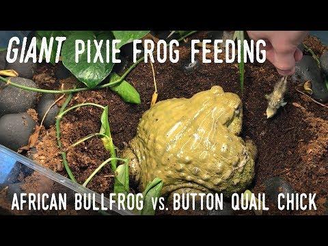 My Giant African Bullfrog Eats a QUAIL!