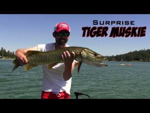 Surprise Tiger Muskie while Bass Fishing [8XD Crankbait]